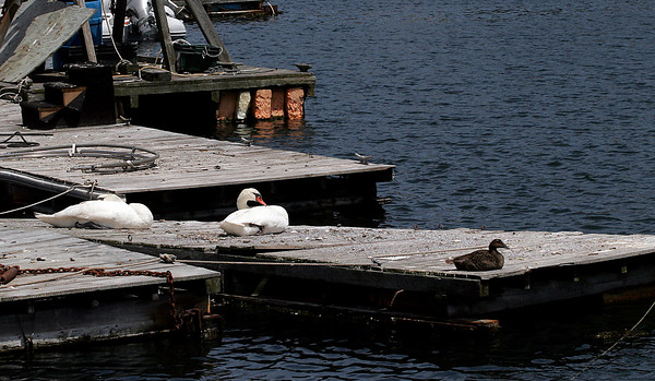 Gloucester: Two swans and a duck rest on the docks at Bickford's Marina. Photo by Kate Glass/Gloucester Daily Times Monday, June 8, 2009