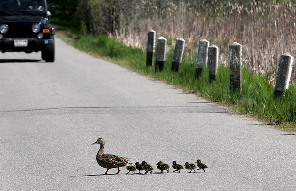 Rockport: A mother duck leads her babies across Penzance Road as they make their way from one marsh to another. Photo by Kate Glass/Gloucester Daily Times