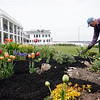 Gloucester: Newt Fink spreads mulch around the garden in front of Bass Rocks Ocean Inn yesterday afternoon. Because the Back Shore is so exposed to wind, only hearty flowers and shrubs will survive. Photo by Kate Glass/Gloucester Daily Times Monday, May 4, 2009