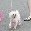 Rockport: Aubrey, a maltese, proudly struts down Bearskin neck in the dog paprade while being walked by Gabriel Olsen, left, and Reagan O'Donnell Saturday afternoon. The parade was held by the Good Dog Galley with all proceeds going to Cape Ann Animal Aid. Mary Muckenhoupt/Gloucester Daily Times
