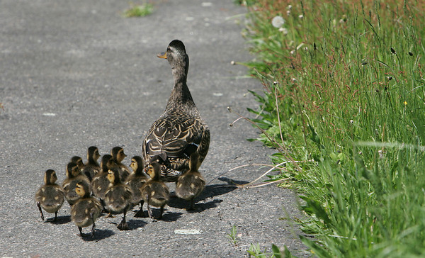 Manchester: For the third consecutive year a mother duck has come to the MERHS courtyard to hatch ducklings. The town's animal control officer was unable to remove the mother and her eleven ducklings on Monday and they will temporarily remain in the schools courtyard. Mary Muckenhoupt/Gloucester Daily Times
