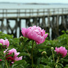 Manchester: Peonies by the Magnolia Pier glisten after rain showers Tuesday morning. Photo by Julia Bishop/Gloucester Daily Times Tuesday, June 9, 2009