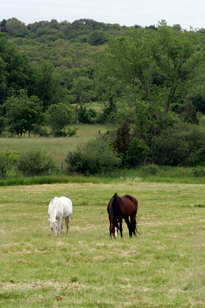 Essex: Two horses graze in fields across from the Cape Ann Golf Course Tuesday afternoon. Photo by Kate Glass/Gloucester Daily Times Tuesday, June 9, 2009