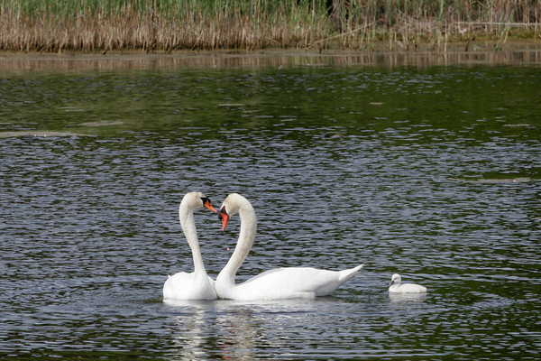 Rockport: Two swans nuzzle while out in Henry's Pond with their baby swan, called a cygnet, yesterday afternoon. Photo by Kate Glass/Gloucester Daily Times