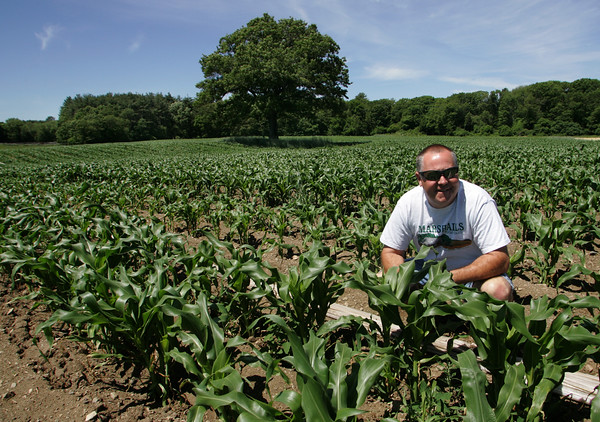 Hamilton: Bob Marshall, owner of Marshall's Farm Stand in Gloucester, checks on one of his corn fields in Hamilton that can produce up to 600 bushels of corn. In a joint venture with Marini's Farm in Ipswich Marshall grows produce in about a dozen fields. Mary Muckenhoupt/Gloucester Daily Times
