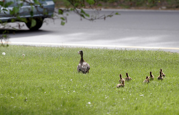 Gloucester: A mother duck and her ducklings wander across the grass in Grant Circle yesterday afternoon. Traffic was tied up for half an hour as Gloucester Police ushered them to safety. Photo by Kate Glass/Gloucester Daily Times