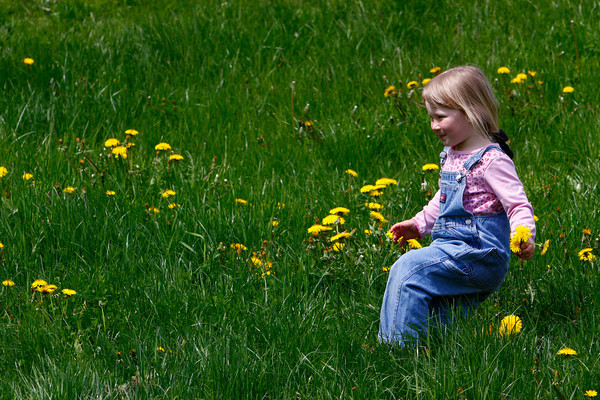 Gloucester: Beatrix Brosnihan, 3, of Gloucester looks for dandelions in the grass out front of West Parish Elementary School Saturday morning. Beatrix was at the school with her family helping to plant a garden when she got sidetracked by the pretty yellow flowers. Mary Muckenhoupt/Gloucester Daily Times