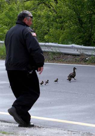 Gloucester: Gloucester Police Officer Mark Foote chases a mother duckling and her babies across Grant Circle yesterday afternoon while traffic was blocked to let them safely cross. Photo by Kate Glass/Gloucester Daily Times