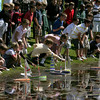 Manchester: Students at the Brookwood School launch boats at the 21st annual Recess Regatta in the Pip Cutler Pond in front of the school Wednesday afternoon.  Students in fourth grade through eighth grade participate in the Regatta. Fourth grade is the year the children take Sloyd, a wood working class, and produce the boats, so the fourth graders are all in it. Children in grades 5 through 8 are all welcome to bring in and race the boats they made when they were in fourth grade. Winner were, first place fifth grader William Baum, second place seventh grader Patrick Daly, third place Hunter Zonnenberg, forth grader Chris Friend and fifth place tie beteween forth graders Cara Goudie and Simon Peterson. Mary Muckenhoupt/Gloucester Daily Times