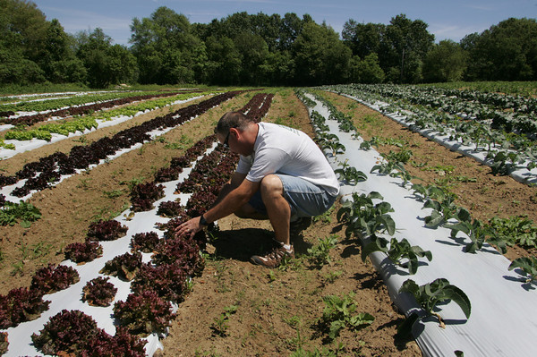 Ipswich: Bob Marshall, owner of Marshall's Farm Stand in Gloucester, cuts a head of fresh lettuce at one of his fields in Ipswich Friday morning. Marshall also grows cauliflower, broccoli and peas in this particular field and in a joint venture with Marini's Farm in Ipswich uses a dozen fields to grow his produce.   Mary Muckenhoupt/Gloucester Daily Times