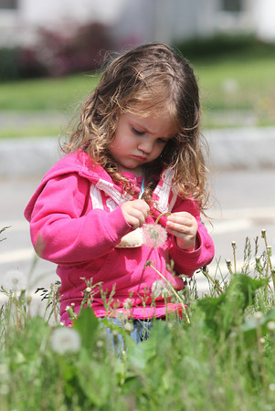 Rose Warner, 2, of Gloucester gets a close look at the dandelions behind Town Hall in Manchester yesterday. Photo by Kate Glass/Gloucester Daily Times