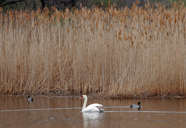 Rockport: A swan paddles between two ducks at Henry's Pond near Pebble Beach. Photo by Kate Glass/Gloucester Daily Times