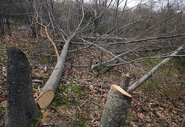Twenty-one trees were cut down illegally along the John Kieran Nature Trail in Rockport. Photo by Kate Glas/Gloucester Daily Times