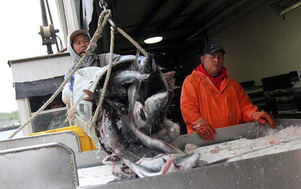 Gloucester: Hugo Lima and Misael Velasquez unload polock from the Miss Trish at the Gloucester Seafood Display Auction yesterday afternoon. Photo by Kate Glass/Gloucester Daily Times