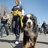 Gloucester: Kay Bosworth of Cape Ann Animal Shelter walks the Pride Stride with Callie a Bernese Mountain dog,Sunday afternoon. Desi Smith/Gloucester Daily Times.