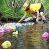 Rockport: Daine Bertalino Director of Rockport Council on Aging releasees the last of 650 plastic ducks all with a numbers down a steam at The 5th Annual Lucky Duck Race at Millbrook Park  Saturday afternoon. For a $5.00 entery fee per duck the money raised goes to the Rockport Council on Aging in rendering services to the elderly, sponsored by The Friends of the Rockport Council on Aging. Resident Mary Bronan was the Lucky Duck winner,taking the 1st place prize of $200.00,Helen Sutherland took 2nd of $50.00 and Donald Smith 3rd of $50.00 Desi Smith/Gloucester Daily Times.