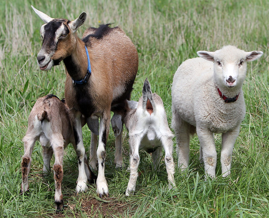 ALLEGRA BOVERMAN/Staff photo. Gloucester Daily Times. Essex: A lamb lives happily with various goats at Apple Street Farm in Essex.