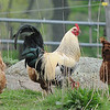 Essex:  A rooster watches over the hens at the Apple Street Farm in Essex. JIm Vaiknoras/staff photo