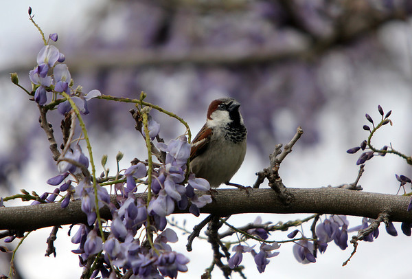 ALLEGRA BOVERMAN/Staff photo. Gloucester Daily Times. Essex: One of many birds flitting about amongst wisteria at Apple Street Farm in Essex.