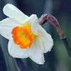 ALLEGRA BOVERMAN/Staff photo. Gloucester Daily Times. Rockport: A daffodil in the rain on Tuesday in at the library in Rockport.