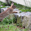 ALLEGRA BOVERMAN/Staff photo. Gloucester Daily Times. Gloucester: A rabbit hops onto a lawn in Rocky Neck to munch on dandelions on Wednesday.