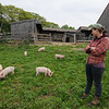 Essex: Liz Green, of the Apple Street Farm in Essex, checks on her piglets as they graze in an open field. JIm Vaiknoras/staff photo
