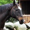 A horse stands in front of a stable at the Seaview Farm in Rockport Jesse Poole/Gloucester Daily Times May 2, 2012