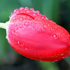 ALLEGRA BOVERMAN/Staff photo. Gloucester Daily Times. Gloucester: A tulip in the rain on Tuesday in Gloucester.
