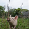 Essex: A curious , muddy nosed piglet runs through the grass at the Apple Street Farm in Essex. JIm Vaiknoras/staff photo