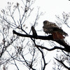 ALLEGRA BOVERMAN/Staff photo. Gloucester Daily Times. Gloucester: A red-tailed hawk is all fluffed out sitting in the rain over Eastern Avenue on Tuesday.
