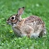 ALLEGRA BOVERMAN/Staff photo. Gloucester Daily Times. Gloucester: A rabbit munches on dandelions at a lawn in Rocky Neck on Wednesday.