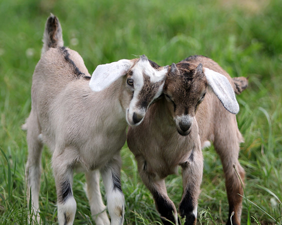 ALLEGRA BOVERMAN/Staff photo. Gloucester Daily Times. Essex: Baby goats who are a little over a month old butt heads and frolic together at Apple Street Farm in Essex.