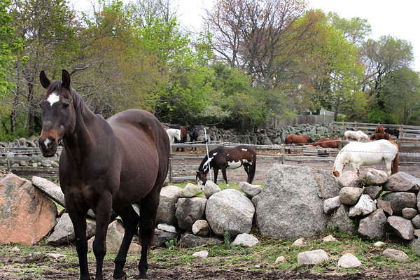 Horses at the Seaview Farm in Rockport Jesse Poole/Gloucester Daily Times May 2, 2012