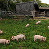 JIM VAIKNORAS/Staff photo. Gloucester Daily Times. Essex: Piglets rummage happily at Apple Street Farm on Monday morning.