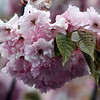 ALLEGRA BOVERMAN/Staff photo. Gloucester Daily Times. Rockport: A cherry blossom in the rain on Tuesday in at the library in Rockport.