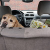 ALLEGRA BOVERMAN/Staff photo. Gloucester Daily Times. Gloucester: Gus, 7, an English lab belonging to Timmie Cullen of Gloucester, enjoying his seat in her car. She said he loves the car, and loves to go anywhere she goes.
