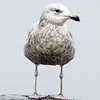 With raindrops dripping from its beak, a lone seagull displays its wings at Masconomo Park in Manchester on a rainy Tuesday afternoon. Jesse Poole/Gloucester Daily Times May 1, 2012
