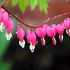 ALLEGRA BOVERMAN/Staff photo. Gloucester Daily Times. Gloucester: Bleeding hearts in the rain on Tuesday in Gloucester.