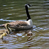 ALLEGRA BOVERMAN/Staff photo. Gloucester Daily Times. Manchester: A Canada geese family swims together in a pond along Summer Street in Manchester on Friday, one of a few families spending time there.