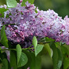 ALLEGRA BOVERMAN/Staff photo. Gloucester Daily Times. Rockport: A lilac blossom in the rain on Tuesday in Rockport.