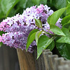 ALLEGRA BOVERMAN/Staff photo. Gloucester Daily Times. Gloucester: Lilac blossoms in the rain on Tuesday in Gloucester.