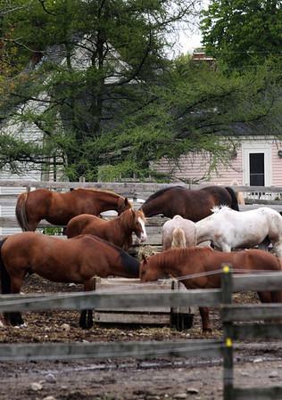 Horses eating at the Seaview Farm in Rockport Jesse Poole/Gloucester Daily Times May 2, 2012