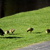 130429_GT_ABO_GEESE
