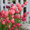 130515_GT_ABO_TULIPS