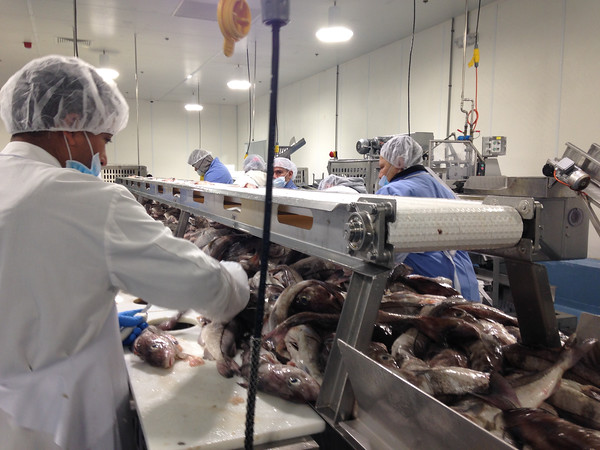 SEAN HORGAN/Staff photo<br /> Workers at Gloucester Seafood Processing work the line.