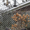 Gloucester: Wild turkeys eat fallen birdseed from a feeder on Gee Ave. in Gloucester just before Thanksgiving Day. Photo by Kate Glass/Gloucester Daily Times Wednesday, November 25, 2009