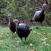 Gloucester: Wild turkeys roam free along Gee Ave. in Gloucester just before Thanksgiving Day. Photo by Kate Glass/Gloucester Daily Times Wednesday, November 25, 2009