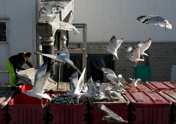 Gloucester: Seagulls flock around William McCallieg of Cape Seafoods as he loads herring into containers on a flatbed truck yesterday afternoon. The New England Fishery Management Council met in Newport, R.I., yesterday to discuss the size of the allowable catch of herring. Photo by Kate Glass/Gloucester Daily Times Tuesday, November 17, 2009