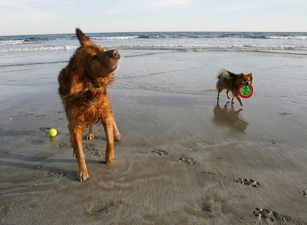 Gloucester: Gus, left, shakes off the water as he and Smokey, right, play catch at Good Harbor Beach on Monday. Photo by Kate Glass/Gloucester Daily Times Monday, November 9, 2009