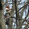 Rockport: Keith Stromski, who works with arborist David Adma trims the top of a tulip tree in downrtown Rockport Thursday afternoon. Mary Muckenhoupt/Gloucester Daily Times